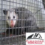 Precision Wildlife Removal